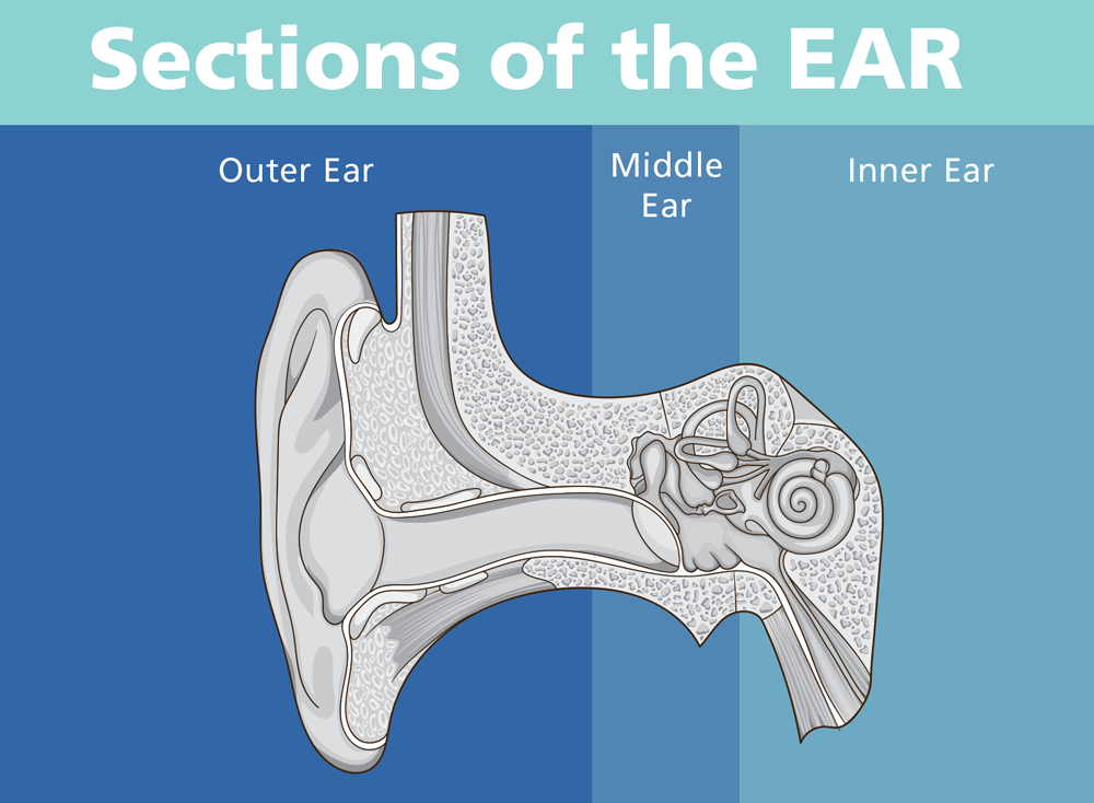 sections of the ear