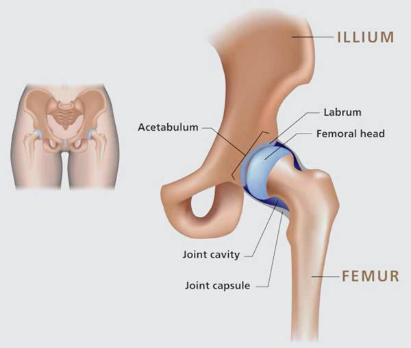 Anatomy of a Hip