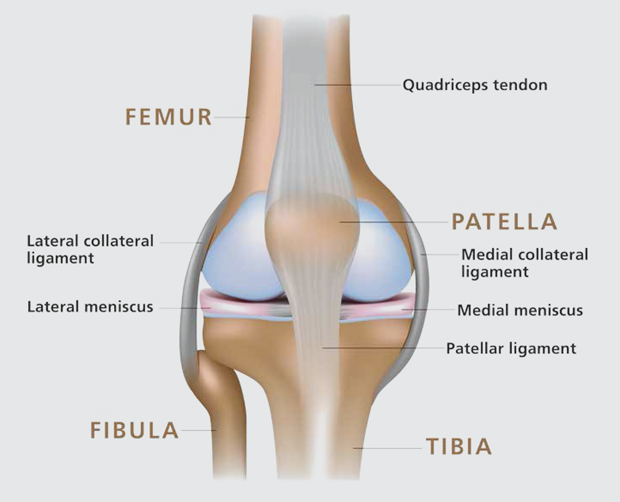 The Anatomy Of The Knee Memorial Healthcare
